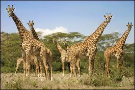 Le plus haut animal terrestre domine la savane tout entière.