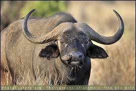 C'est le plus gros bovidé d'Afrique (Le mâle peut peser 800 kg).
