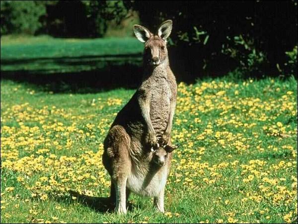 Le cri du kangourou est difficile à définir. La femelle émet cependant un claquement particulier de la langue. Pourquoi ?