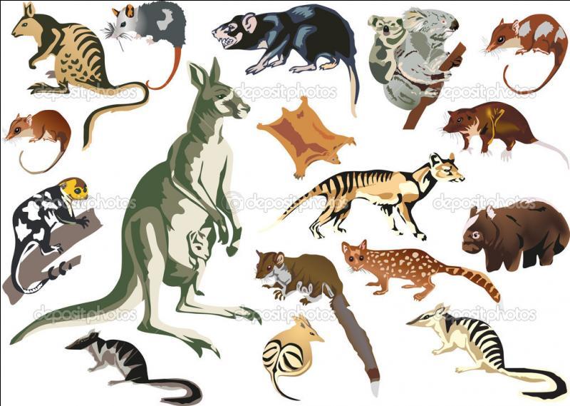 Notre sympathique animal fait partie de la famille des marsupiaux. D'où vient le mot  marsupial  ?