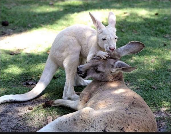Laquelle de ces races n'est pas une race de kangourou ?