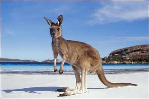 La queue du kangourou a-t-elle une utilité particulière ?
