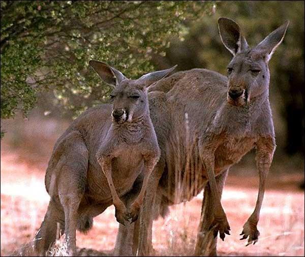 Quand le kangourou s'accouple-t-il ?