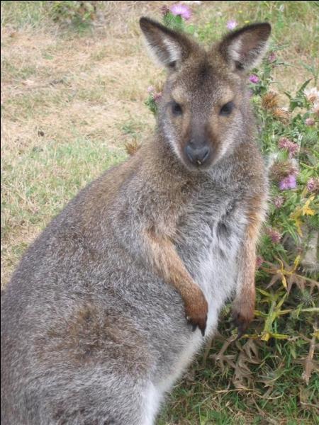 Quelle caractéristique curieuse ont les femelles chez les kangourous ?