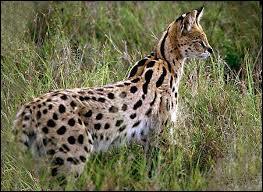 Le serval vient...