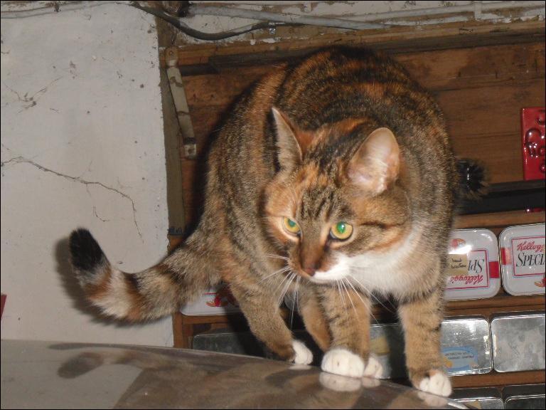 Grâce à quoi le chat retombe-t-il sur ses pattes ?