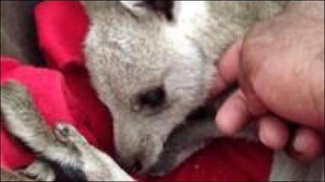 Comment s'appelle le kangourou des Anges ?