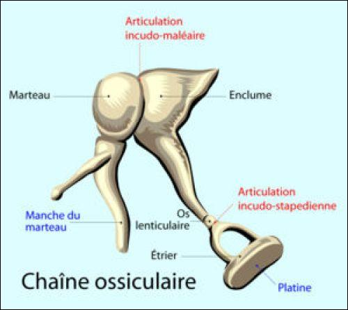 On se demande bien ce que les os de l'oreille humaine ont à voir avec le cheval !