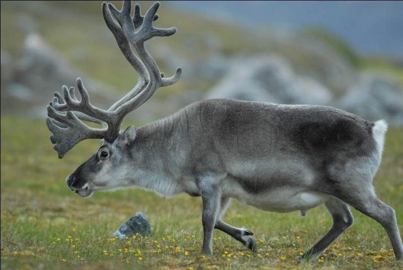 Phonétiquement, ce terme utilisé dans le monde du cheval, est très proche de l'autre nom du caribou !