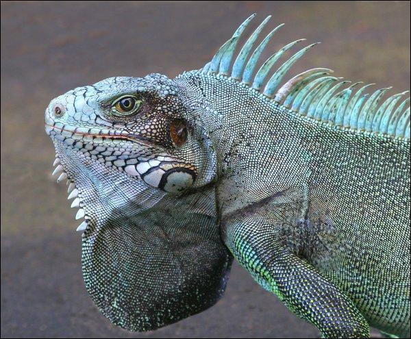 Reptile saurien !