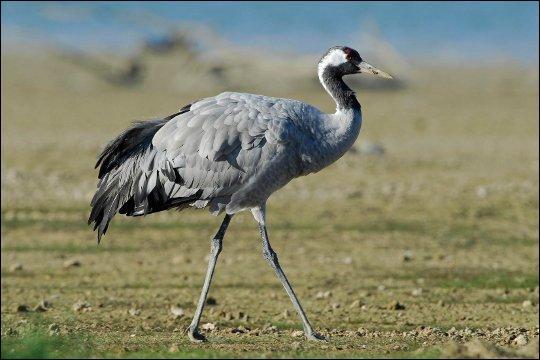Gros oiseau migrateur de l'ordre des échassiers. Couronnée, royale ou cendrée !
