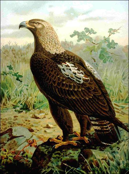 Royal, c'est un grand rapace marron foncé aux larges ailes. Héraldique, elle symbolise la majesté et l'empire !