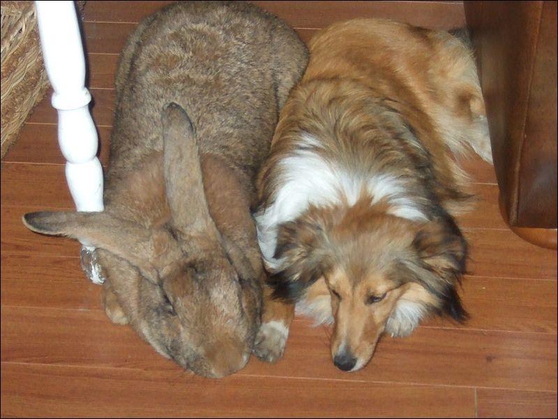 Quel poids peut atteindre le lapin géant des Flandres, pris en photo auprès d'un berger des Shetland ?