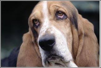 Oh la la, que ce regard est triste, voici le basset hound ou hushpuppie, dont l'un des plus célèbres propriétaires à l'écran est... ?