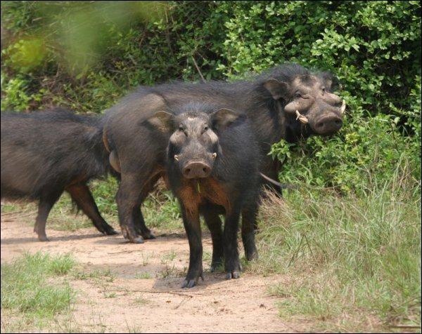 Et celui-ci, que l'on trouve également en Afrique !