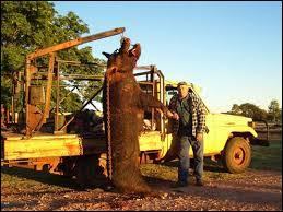 Peut-être avez-vous vu ce film, où un cochon sauvage sème la terreur dans une région d'Australie, et bien ce cochon existe vraiment et il est à peine moins gros que dans le film !