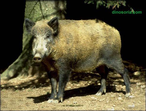 En Louisiane, ainsi que dans de nombreux états des Etats-Unis, les cochons sauvages prolifèrent tellement qu'ils sont devenus un véritable fléau pour les agriculteurs et les autres animaux, on les appelle :
