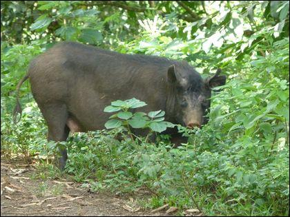 On trouve des porcs sauvages en Polynésie !
