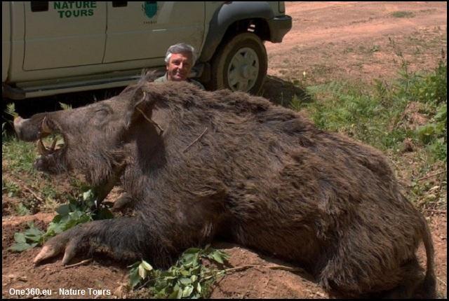 En Turquie, cette sous-espèce de sanglier atteint des tailles énormes, les paysans le craignent, on l'appelle ...