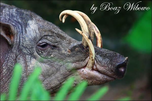 C'est le plus primitif des porcs sauvages, on le trouve aux Célèbes et sur l'île de Togian !