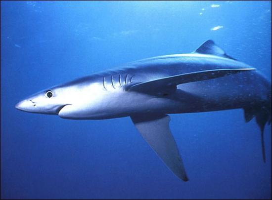 Combien de petits la femelle du requin bleu peut-elle avoir ?