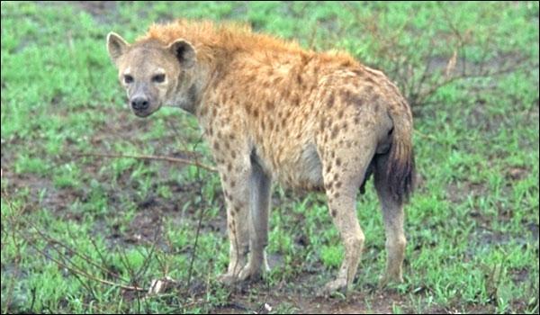 Chez les hyènes tachetées, qui domine ?