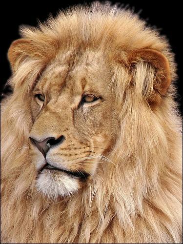 Quel poids peut atteindre un lion adulte ?