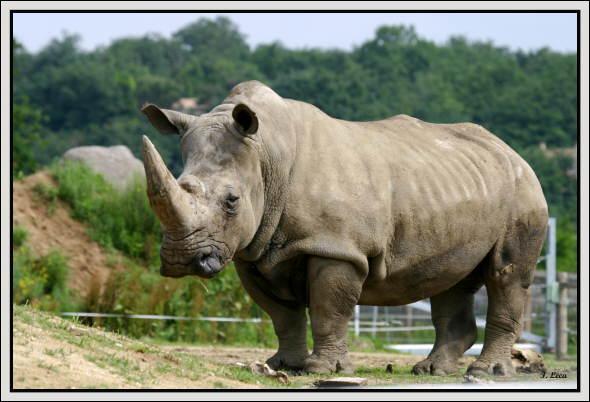 Après combien de mois une femelle rhinocéros met-elle au monde son petit ?