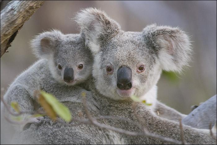 Où peut-on trouver ces beaux koalas ?