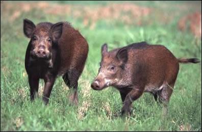 Les sangliers sont des omnivores.