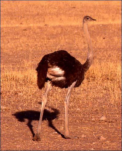 L'autruche est le plus rapide des oiseaux terrestres. Elle se déplace en marchant et peut courir à une vitesse de :