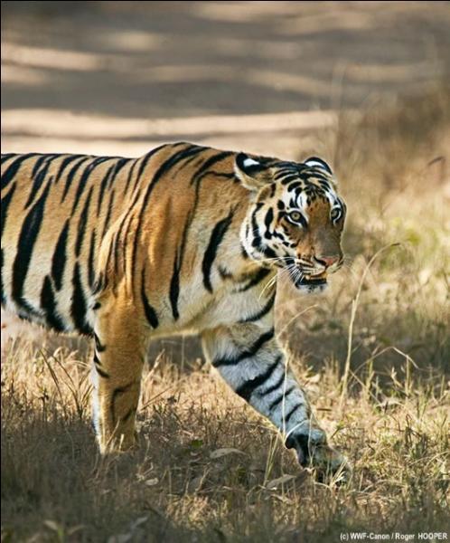 Les tigres sont des félins.