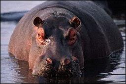 La longévité d'un hippopotame en liberté est de :