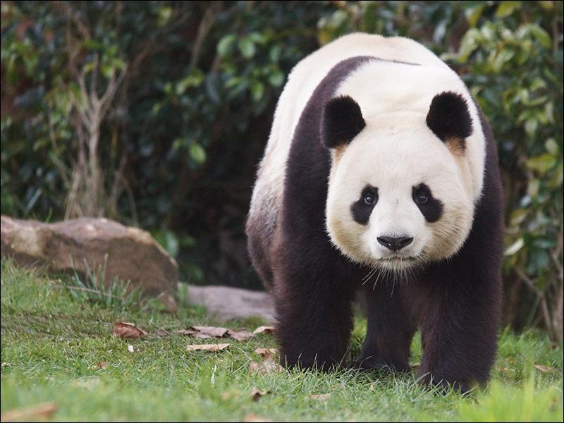 Quels sont les prénoms des deux pandas qui ont trouvé domicile au zoo de Beauval ?