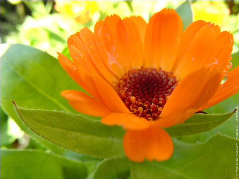 Comment s'appelle cette jolie fleur, dont le nom ne constitue pas le trait le plus agréable ?