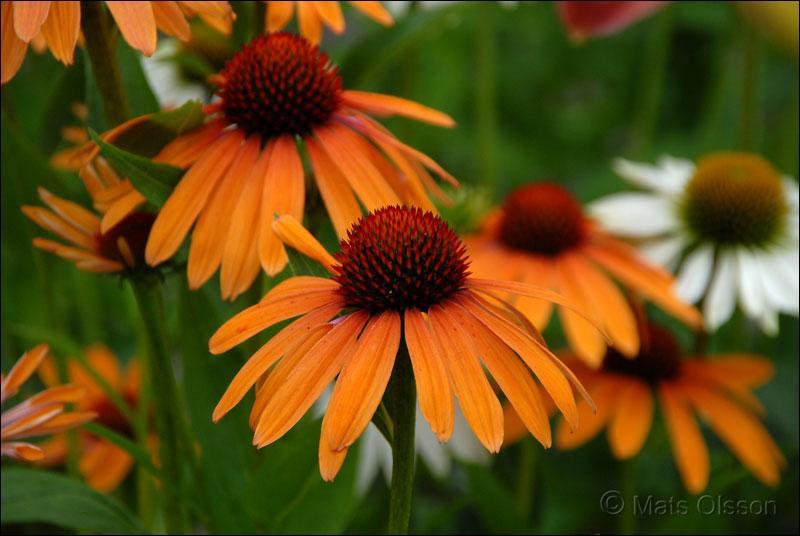 Quel est le nom de cette fleur, qui ressemble ni plus ni moins à une grosse marguerite ?