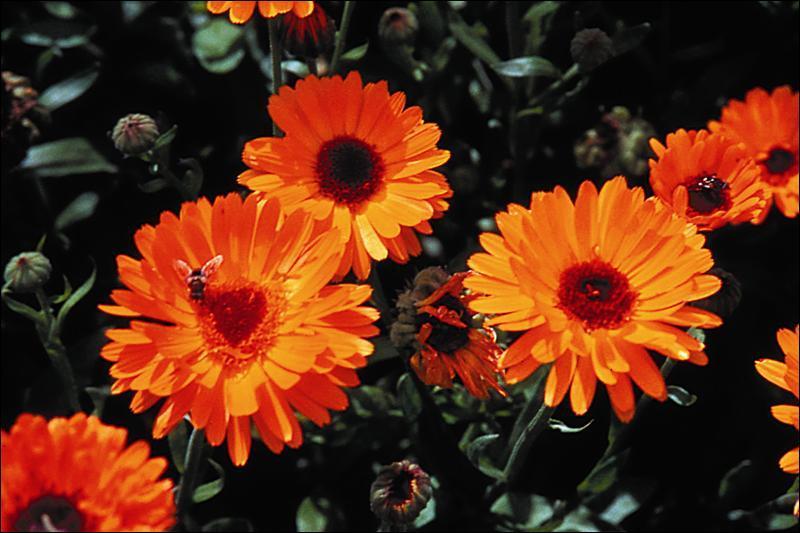 Connaissez-vous le nom de cette fleur, utilisée en cosmétique et en pharmacie ?