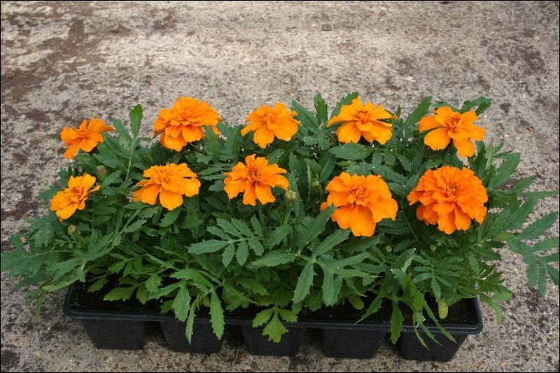 quizz des fleurs orange quiz fleurs plantes nature. Black Bedroom Furniture Sets. Home Design Ideas