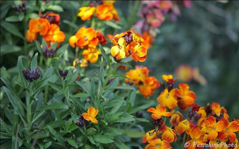 Connaissez-vous le nom de cette jolie fleur, à l'odeur épicée ?