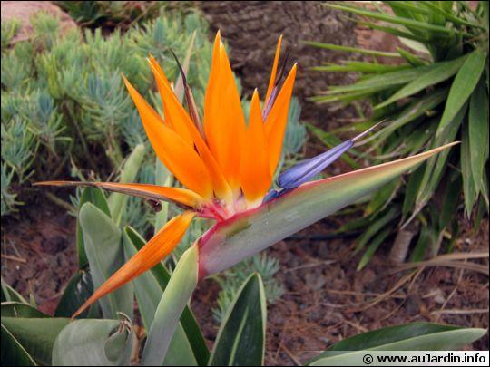 Comment s'appelle cette jolie fleur dont le nom enchanteur désigne aussi un animal coloré et une constellation ?