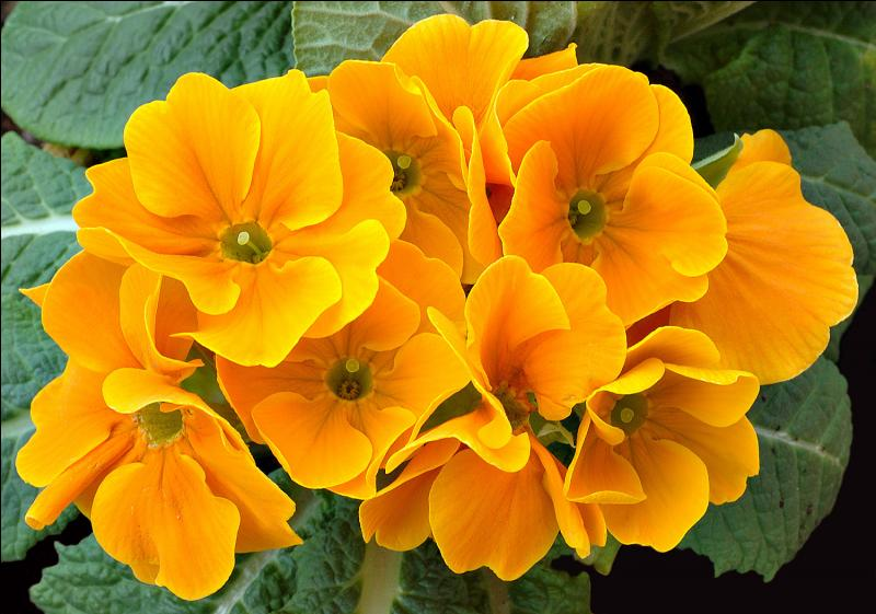 Connaissez-vous le nom de cette fleur, dont le beau nom signifie, en latin  Le début du printemps  ?