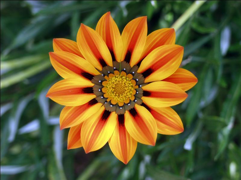 Comment s'appelle cette charmante fleur méditerranéenne, originaire d'Afrique du sud, et qu'on trouve en bouquets, pas en bonbonne ?