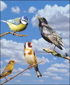 Quizz les oiseaux en chansons quiz chansons musique for Oiseaux du ciel