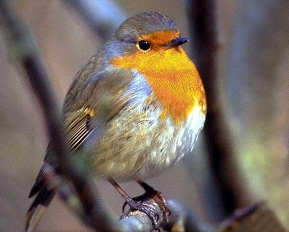 Les oiseaux en chansons