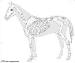 Le squelette est composé de :