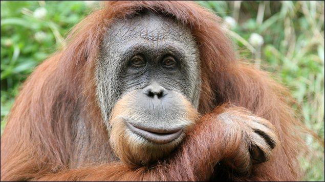 Comment un orang-outan nommé Fu Manchu a-t-il réussi à s'évader de sa cage à plusieurs reprises ?