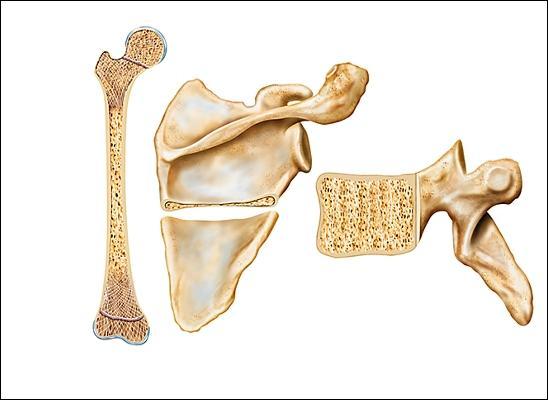 Comment s'appelle le seul os qui ne soit pas articulé avec un autre os ?