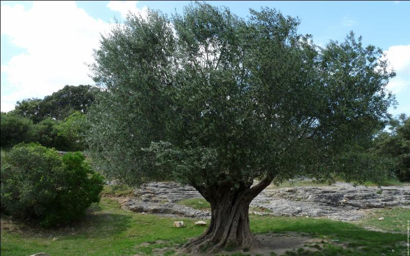 Quizz nature m diterran enne quiz plantes nature mers - A quelle epoque tailler un olivier ...