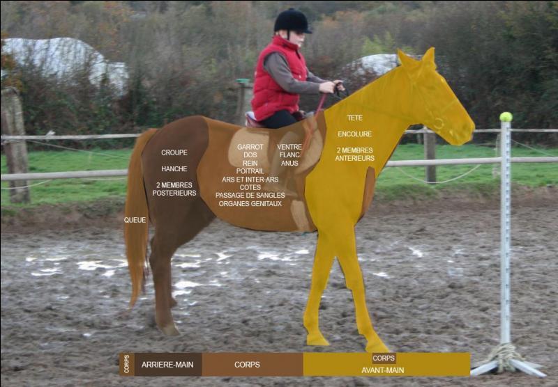 En équitation on divise le cheval en trois parties, lesquelles ?