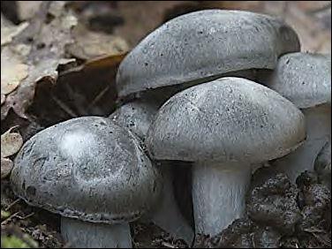 Ce champignon est appelé Hygrophore ...